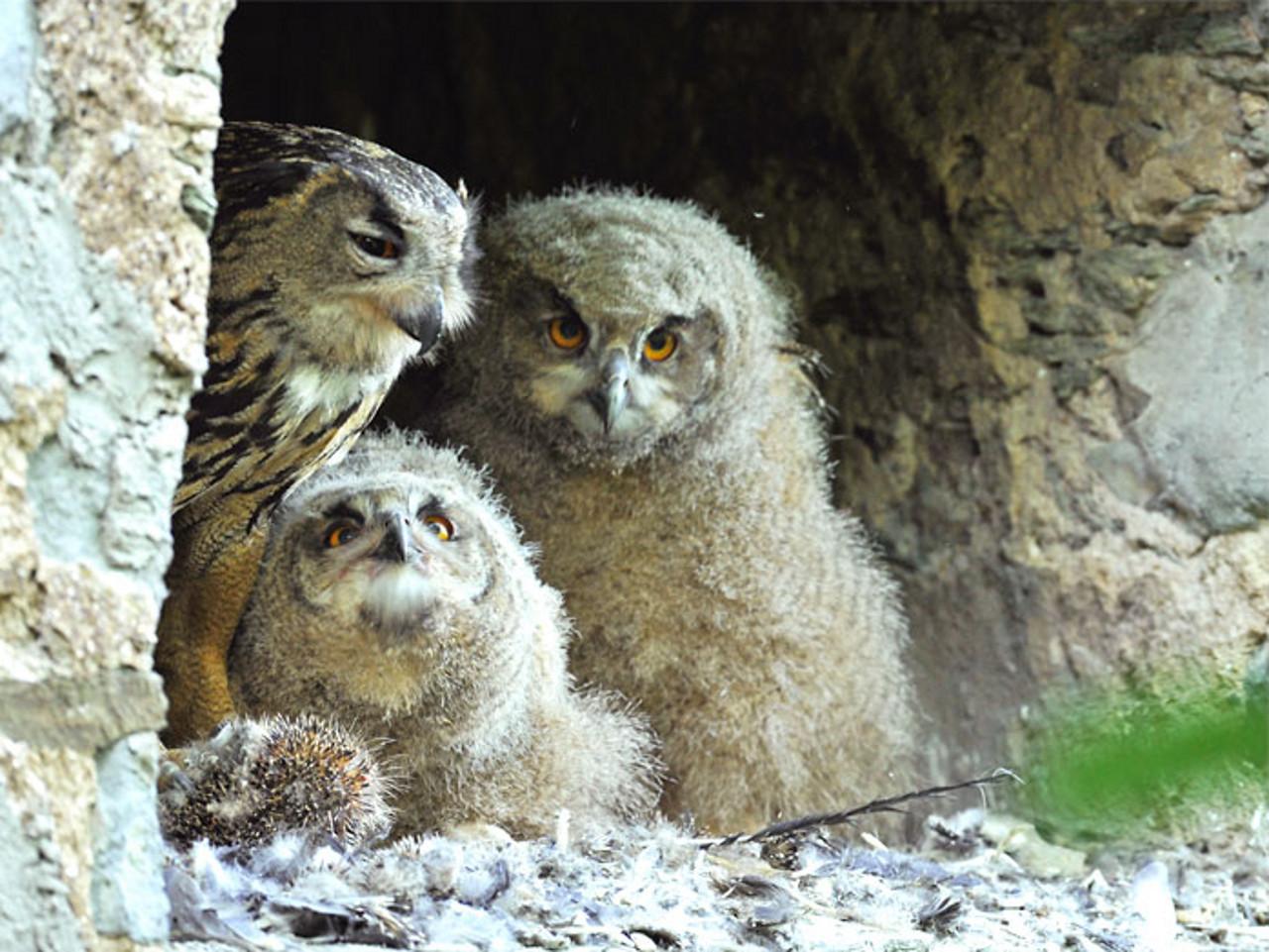 Uhus (Bubo bubo – eagle owl) im Braunfelser Schloss: Die erste Gebäudebrut im Kreis.
